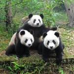 Wie heißen die Pandas im Tiergarten Schönbrunn?