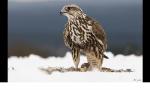 Das ist Ravens Falke!