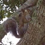 Name: Klara Tierart: Wald Eichhörnchen Alter: 1 Geschlecht: weiblich Aussehen: Braun, grüne Augen, immer eine Nuss in der Hand. Schulterhöhe: 15cm