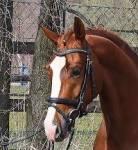 Ein Pferd kann verschiedene Abzeichen haben. Wie nennt man das Abzeichen auf dem Bild?