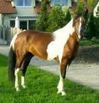 ...kastrierte männliche Pferde nennt man Wolfich..?