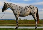 Wie nennt man das auf dem Bild gezeigte Pferd?