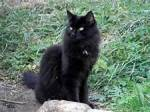Name: Schattenherz Art: Katze Alter: 1 Blattwechsel Geschlecht: Weiblich Rang: 2. Anführer Aussehen: Schwarze Kätzin mit leuchtend grünen Augen, we