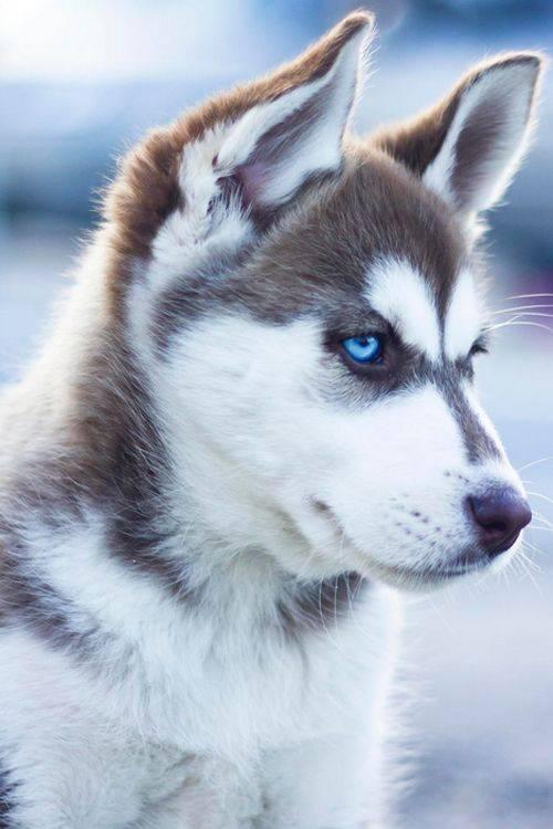 Hunde wallpaper - Husky con occhi diversi ...