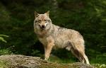 Felan Besitzerin Wolf