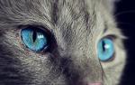 Blaustern (aus Warrior Cats)
