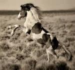 ((big))Die Herde((ebig)) Die Hierarchie Anführer: Schattenfell-M-Mustang-großer, muskulöser Hengst mit glänzenden, weißen Fell. Seine Augen sind