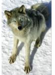 ((bold))Gespielt von: Nebelkralle((ebold)) Name: Bayan Rufname: Bay Alter: (In Jahren) 4 Geschlecht: m Aussehen: großer, grauer Wolf mit dunklerer Mu