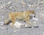 Name: ((olive)) Lu ((eolive)) Geschlecht: männlich Aussehen: schlaksiger, langbeiniger, sandfarbener Wolf mit breiten Schultern, aber nicht vielen Mu