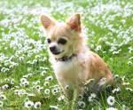 Die kleinsten Hunde der Welt