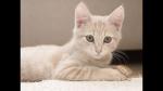 ((fuchsia)) Hallo, ich schreibe über eine kleine Katze die, die große Liebe finden will. Hier sind die Steckbriefe von den Wichtigsten Katzen und di