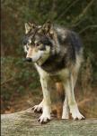 Die dritte und letzte Wissensfrage: Wie/ ab wann (ab wie vielen Jahren) kann sich ein Werwolf verwandeln?