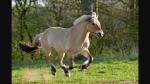 Gespielt von: EDME Name: Soul Rufname: Soul Alter: 6 Jahre Rasse: Fjord Geschlecht: Hengst Aussehen: Typisches Fjordpferd mit langer Mähne und kleine