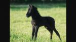 Gespielt von: Kitti Name: Midnight Rufname: Night Alter: 5 Monate Rasse: Mustang-Araber Geschlecht: Stute Aussehen: siehe Bild Charakter: Schüchtern,