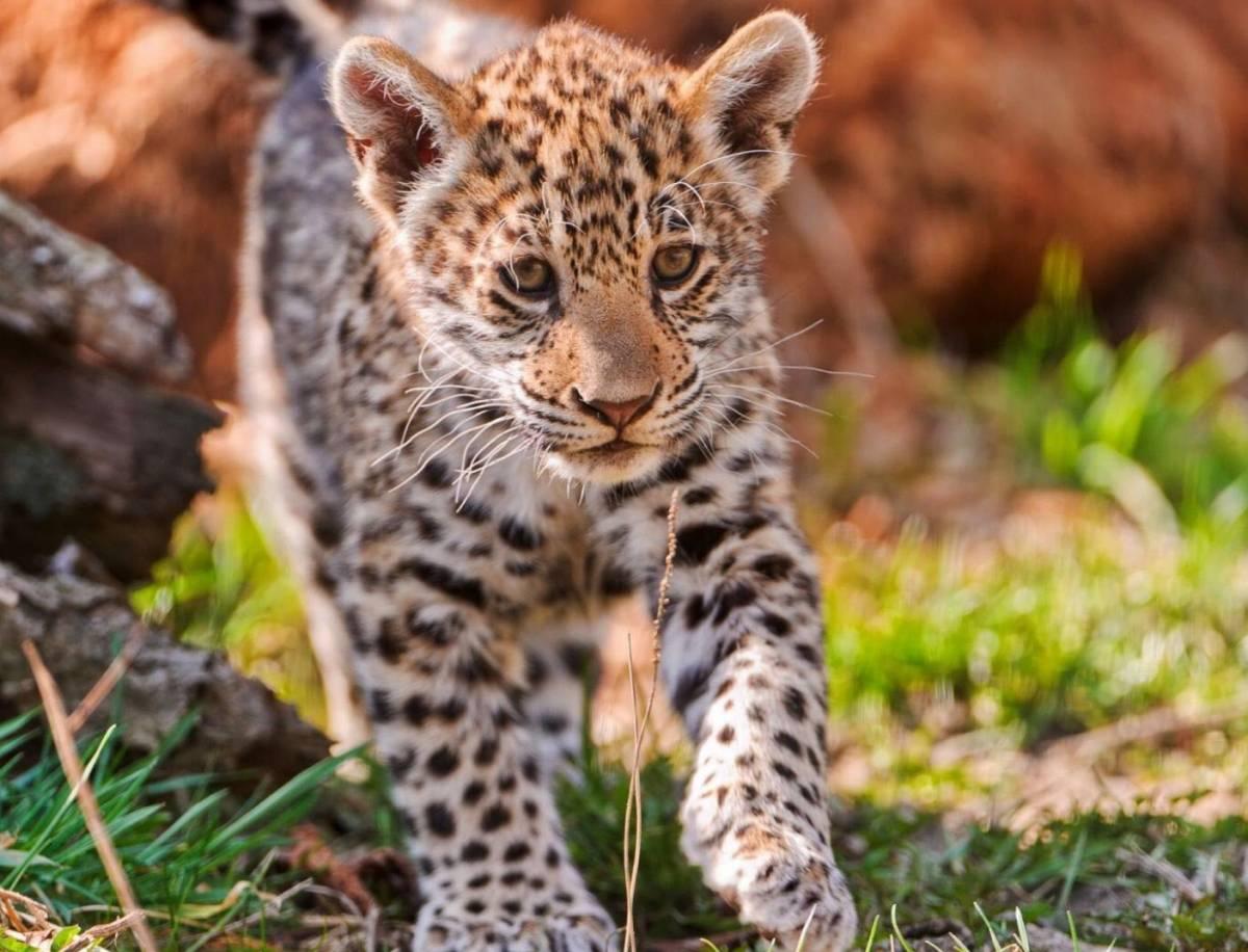 S e tiere - Bebe du jaguar ...