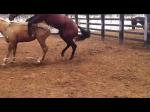 Werden Stuten manchmal zum paaren gezwungen?