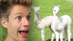 Lucas Lieblingstiere sind Alpakas. 💕🐑