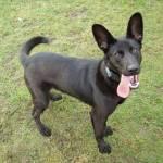 Name: Manila Alter: 2¾ Art: Hund Rasse: Schäferhund- Boxer- malinois mix Rudel: Defender Rang: Jäger Charakter: nett, treu, lustig, glücklich Schw