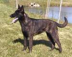 ((big)) Meine Steckbriefe((ebig)) Name: Lucky Alter: 3½ Art: Hund Rasse: Schäferhund-boxer-malinois mix Rudel: Defender Rang: Alpha Charakter: nett,