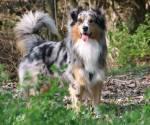 ((blue)) Mein zweiter Chara ((eblue)) Name: Canem Spitzname: Canem, Cane Geschlecht: männlich Tierart: Australian Shepherd Alter: um die 5 Jahre alt