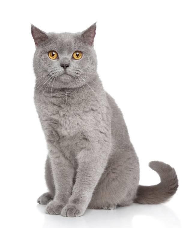 Pet Bengal Cat Price