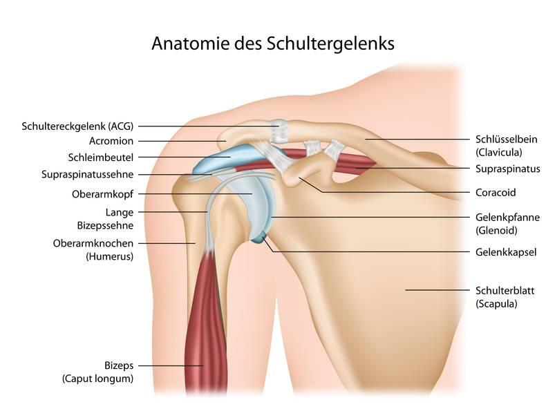 Die obere(Arm) und die untere(Bein) Extremität