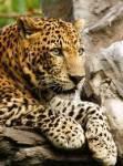 ((big))Inhaltsverzeichnis: 1. Inhaltsverzeichnis & Einleitung 2. Der LeopardenClan 3. Der TigerClan 4. Der LöwenClan 5. Die Erklärung der Ränge, di