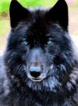 Name:Ranak Alter:9 Jahre Geschlecht:männlich Aussehen:pechschwarzer, sehr starker Wolf mit blauen Augen Rudel:Mondrudel Rang:Krieger Verl