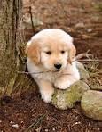 Australischer Schäferhund!