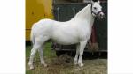 Ganzer Name: Ricki Glimmer Rufname: Ricki Alter: 6 Jahre Geschlecht: Stute Rasse: Welsh Pony Zuchtpferd: Vielleicht Charakter: treu, mag longieren, An