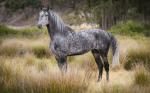 Henriks erstes Pferd: Name: Sigma Geschlecht: Stute Alter: 4 Jahre Rasse: Pura Raza Espanola Aussehen: zierlich, schlank, feiner Kopf, weiss-dunkelgra