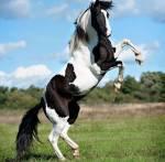 Deans Pferd: Name: Dia Geschlecht: Hengst Alter: 8 Rasse: Paint Horse Aussehen: er ist ein großer, kräftiger Hengst, mit weißen Fell und der typisc