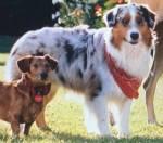 Name: Lucy Alter: 7 Jahre Geschlecht: weiblich Art: Australien Sheperd Rang: Restliche Hunde Rudel: Hunde-Rudel Aussehen: struppiges, aber dennoch wei