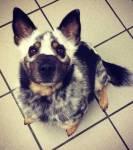 Name: Akim Alter: 7 Geschlecht: Männlich Art: Kampfhund- Australian cattle dog Rang: Beta Rudel: Haushunde Aussehen: Hat Blau-Weiß-graues Fell und b