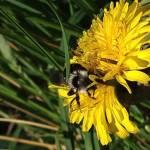 14. Bild Als ich letztens mal wieder eine gefühlte Ewigkeit auf den Bus warten musste ist mir eine Biene aufgefallen die zwischen dem Löwenzahn umhe
