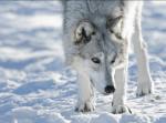 Wie bezeichnet man einen wolf ohne Rudel Streuner Einzelläufer Einzelgänger