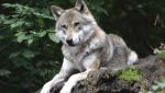 Zu guterletzt Können wölfe bellen Ja ein bischen Nein Ja klar Wuff