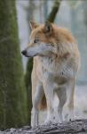 Mit welchem Tier ist der wolf verwandt Katzen Hunden Bären