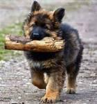 Name: Sugar Geschlecht: weiblich Alter: 11 Wochen Besitzer: Jace und Holly Rasse: Deutscher Schäferhund Charakter: Sugar ist eine aufgedrehte und ver