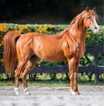 Name: Desparado Rufname: Despa/ parado Alter: 5 Jahre Pferderasse: Araber Sonstiges: https://goo.gl/images/pD4EYU