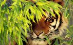 ((green)) Der Erdclan ((egreen)) Die Erdclan Tiger sind starke, gefasste und Mutige Tiger . Ihre Fell Farbe beträgt Ein Dunkles Orange-braun bis zu b
