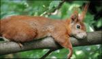Name: Nadelherz Tier: Eichhörnchen Geschlecht: w Rang: Kriegerin Alter:21 Monde Aussehen: rotes Hörnchen mit blauen Augen Charakter: mutig und nett