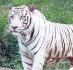 Chiba: Name: Sturmkralle Tier:Tiger Geschlecht: Männlich Rang:Krieger Alter:13 Monde Aussehen: Ist ein weißer Tiger(nein kein Schneetiger) Chara