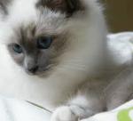 ((purple))An Heiligabend wurde die Siam-Katze Hope geboren. Als sie 12 Monde alt war beschloss sie wegzugehen von ihren Eltern, das machte sie auch. S