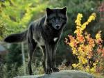 Wie viel weißt du über Wölfe?