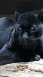 Clan der Panther