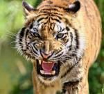 Tiger Quiz