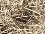 Die Kahlrückige Waldameise
