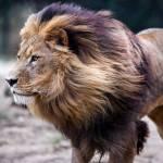 Name: Espero Art: Löwe Geschlecht: Männlich Alter: 6 Jahre Aussehen: Espero ist selbst für einen Löwen recht groß und sein Fell ist ziemlich dunk