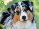 Hunde - Australian Shepherd Bilder